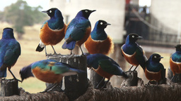 Group of superb starling birds Archivo