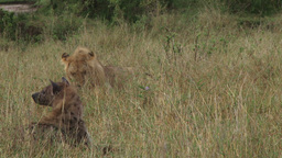 Hyena snatches a piece of meat from a lion Footage