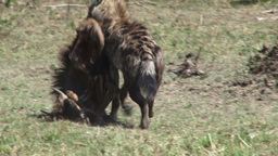 Hyena takes away a kill from vultures Footage
