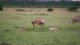 Juvenile antelope repelles an attack from jackals Footage