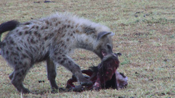 Juvenile hyena stelas food from a kill Footage