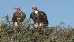 Lappet faced vultures and a lillac breated roller Footage