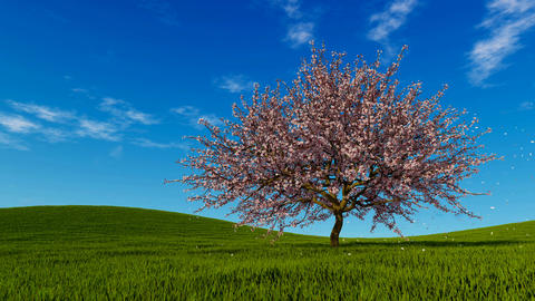 Landscape with single cherry tree in full blossom Footage