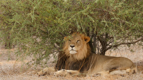 Black-maned male lions grooming under bush Kgalagadi, Botswana, Africa Footage