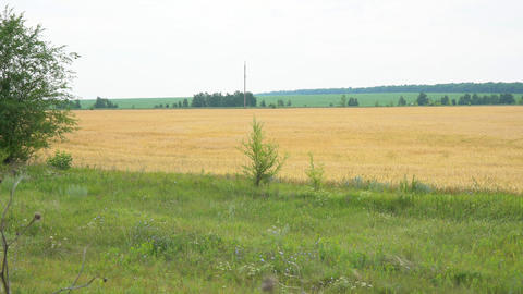 Field with wheat or rye. On the edge of field passing car Footage
