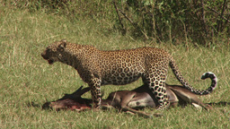 Leopard poses to rest while dragging a kill Footage