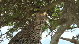 Leopard watching his territory from top of a tree Footage