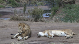 Lion couple tired and worn out sitting by the river Footage