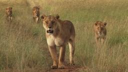 Lion pride following a bush road Footage