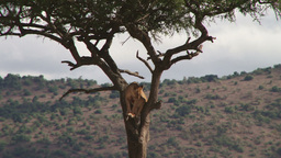 Lion watches buffalos from a tree Footage