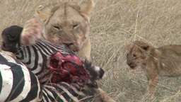 Lioness eats the ears of a zebra while a cub waits Footage