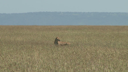 Lioness in the middle of grassy plains Footage