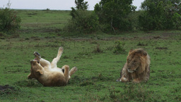 Lioness rolling on the ground as the male watches Footage