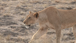 Lioness with a bad eye trying to hunt Footage