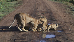 Lions and cubs drinking rain water on the road Footage