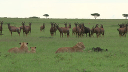 Lions watching antelopes but not hunting Footage