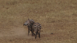Long shot of zebras fighting Footage