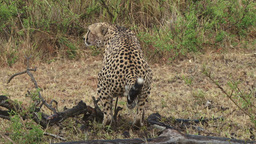 Male cheetah showing his testicles Footage