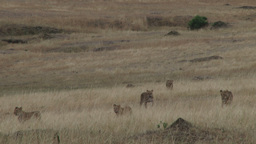 Many lions in the plains of mara Footage