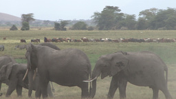 Masais and elephants in the swamps of Amboseli grazing together Footage