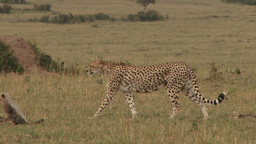 Mother cheetah walking with cubs Footage