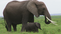 Mother elephant moves her baby away Footage