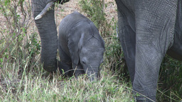 Mother elephant with her baby grazing peacefully Footage