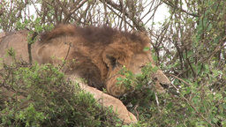 Zoom out of a male lion resting on top of a bush Footage