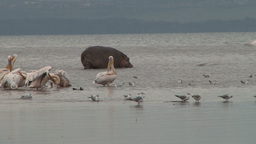 Pelicans and a hippo in a lake Footage