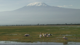 Pelicans fly away with the kilimanjaro in the background Footage