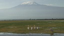 Pelicans resting under kilimanjaro Footage