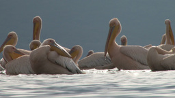 Pelicans splashing water in a lake Footage