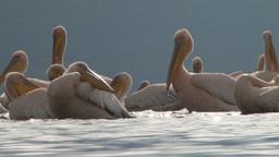 Pelicans splashing water in a lake Footage