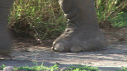 Perfect footsteps of elephant at close range Footage