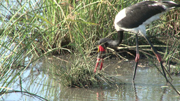 Saddle bill stork catches a fish Footage