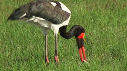 Saddlebill stork swallows a big fish Footage
