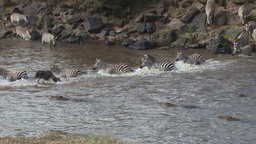 Several crocodiles try hunting zebras during a crossing Footage