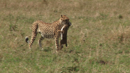 Side view of a cheetah walking with a kill in the mouth Footage