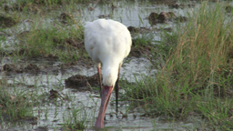 Spoonbill looking for food in the swamp Footage