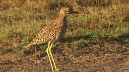 Spotted thick knee Footage