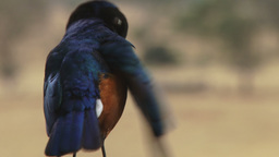 Superb starling grooming Archivo