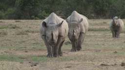 Two black rhinos aproaching the camera in a streight line Footage