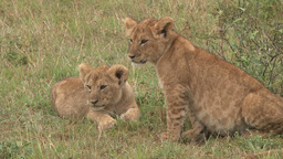 Two lion cubs with full stomachs Footage