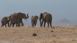Two pairs of elephant bulls playing Footage