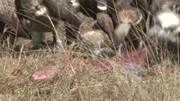 Vultures descend on a dead zebras baby Footage