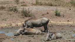 Warthogs sleeping in muddy pool to cool themselves Footage