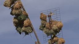 Weaver birds colonising TV antenas in a village Footage