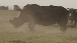 White rhino trotting away then turns around to face his fighting mate Footage