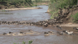 Wildebeests and zebras crossing a river Footage