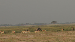 Wildebeests babies playing Footage